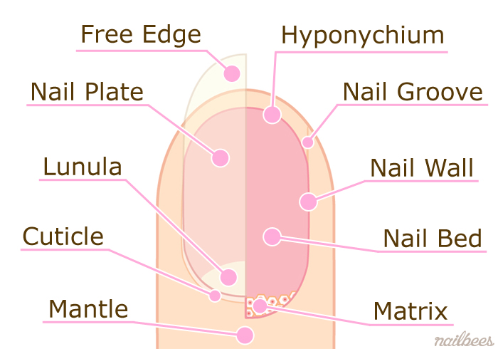 Nail Structure | nailbees